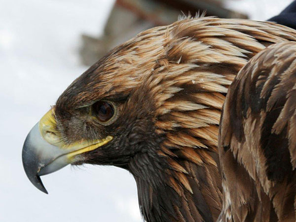 Maxine, juvenile female Golden Eagle, captured, tagged and released February 8th, 2014, in Andes, NY